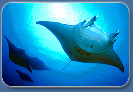 Manta Ray Night Diving is fantastic off the Kona Hawaii Coast